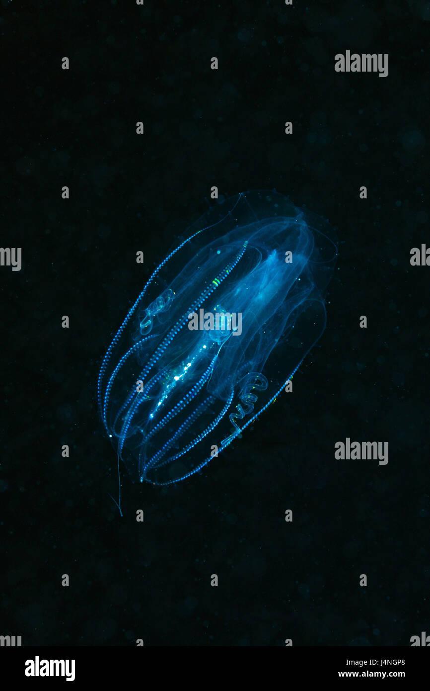 Underwater recording, rib jellyfish, Tentaculata, Egypt, Safaga, animal, sea animal, jellyfish, nettle animal, concave - Stock Image