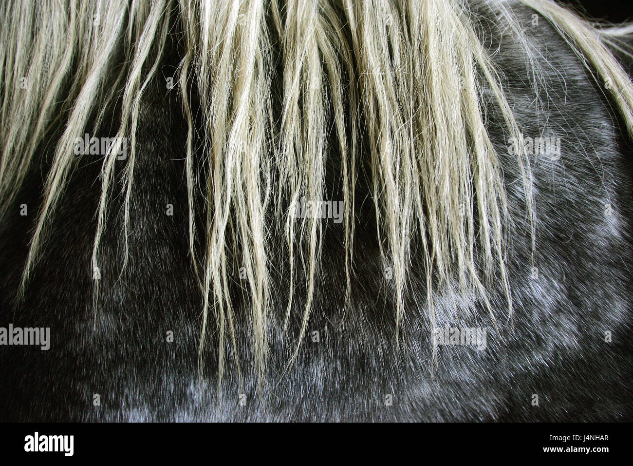 Mane, detail, Percheron horse, - Stock Image