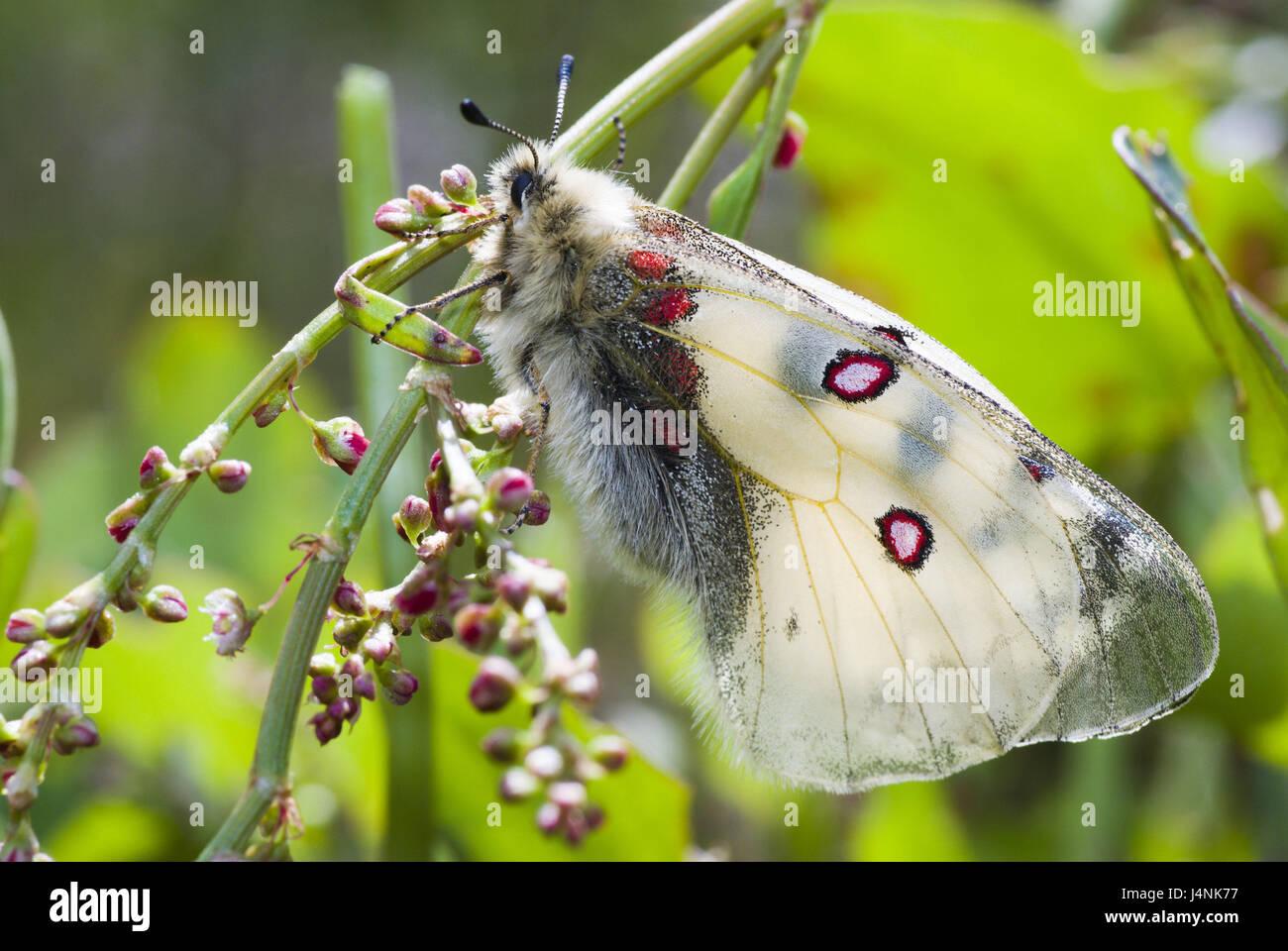 Meadow, high-level alps-Apollofalter, Parnassius phoebus, preview, Switzerland, nature, animals, animal world, insects, Stock Photo
