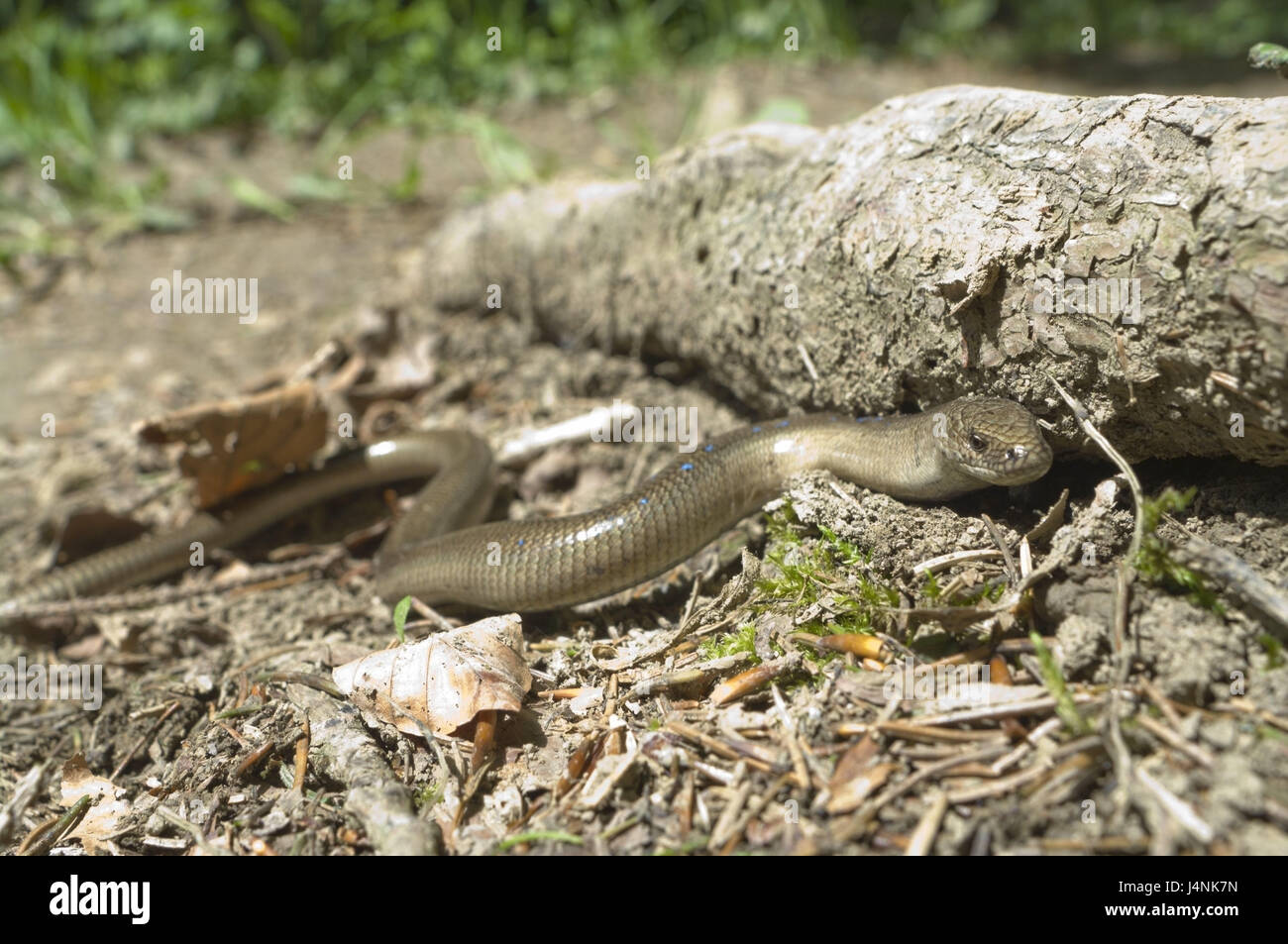 Forest floor, blindworm, Anguis fragilis, Slovakia, wild animals, animals, animal world, individually, reptiles, - Stock Image