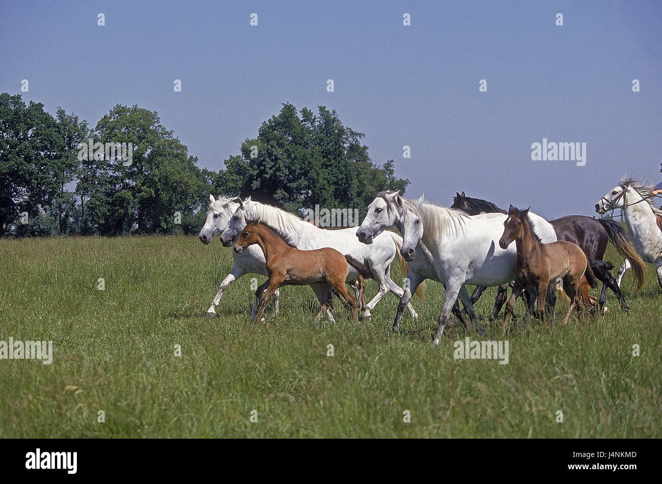 Lusitano horses, mares with foal, pasture, - Stock Image