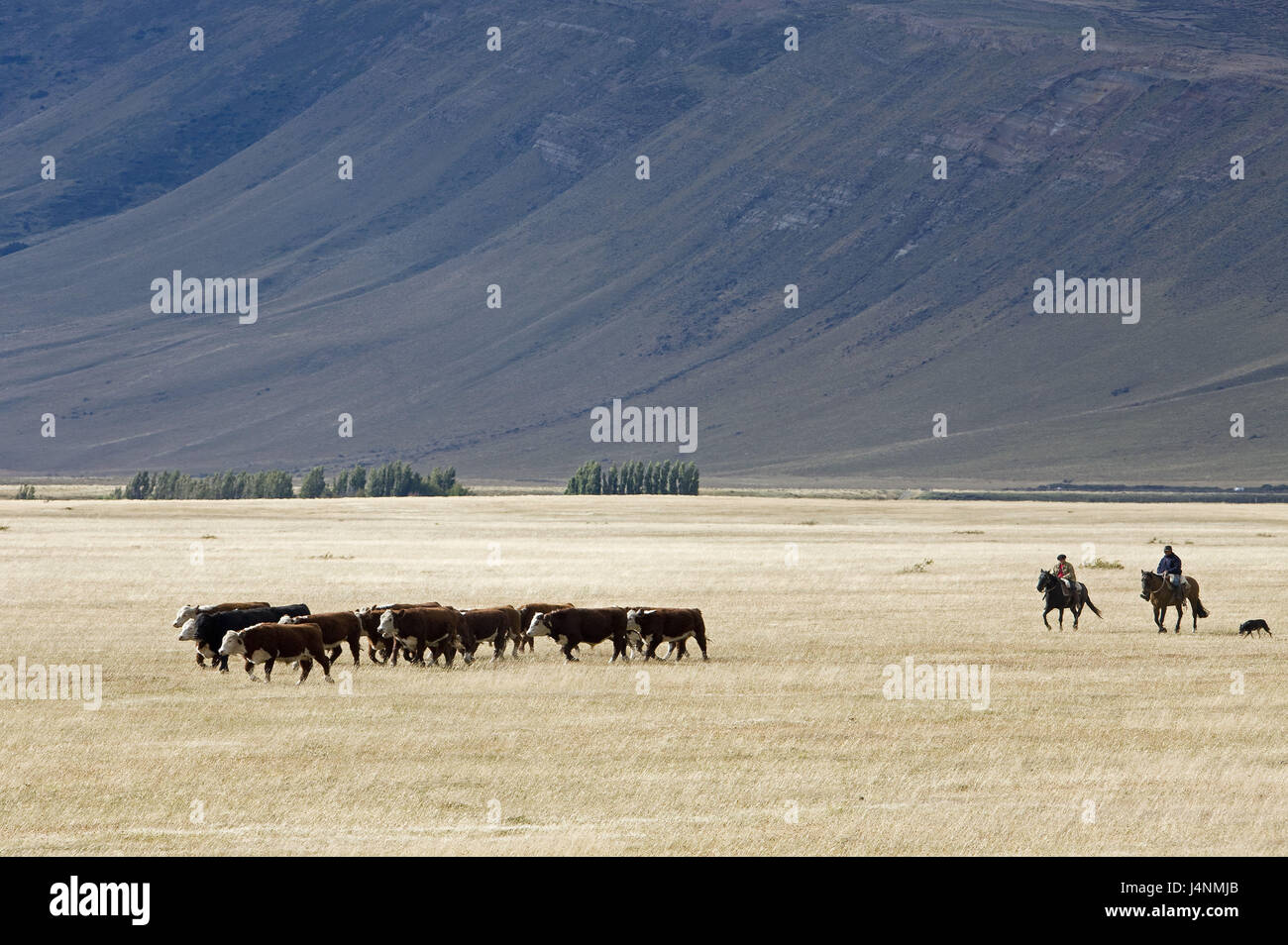 Chile, Patagonia, scenery, cow's focuses, Gauchos, - Stock Image