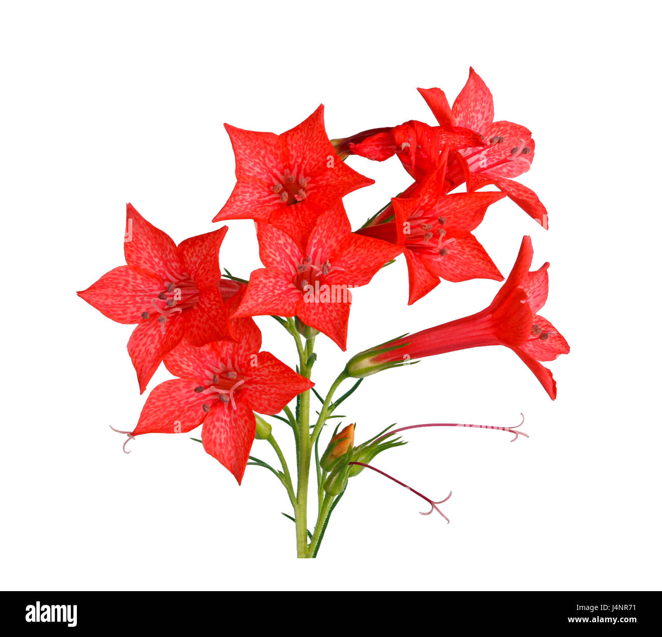 Spray of bright-red flowers of Ipomopsis aggregata cultivar Hummingbird, also called scarlet trumpet, scarlet gilia, - Stock Image