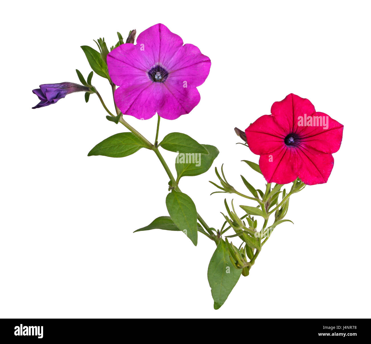Two stems with a bright red and magenta flowers of petunias (Petunia hybrida) isolated against a white background Stock Photo