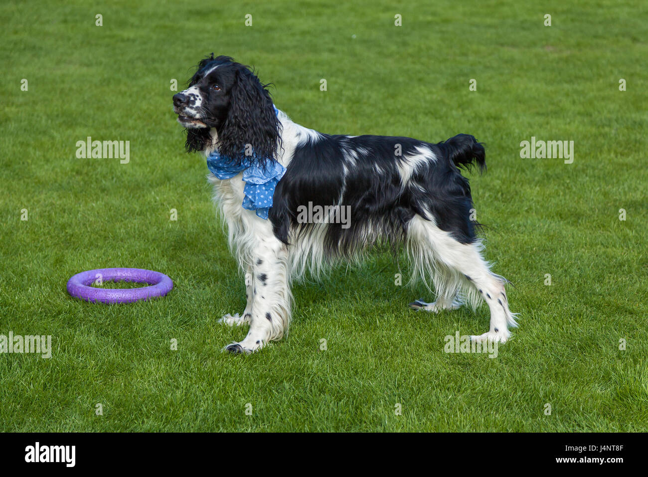 the dog of breed Cocker Spaniel stands on a green grass, blackly white Cocker Spaniel Stock Photo