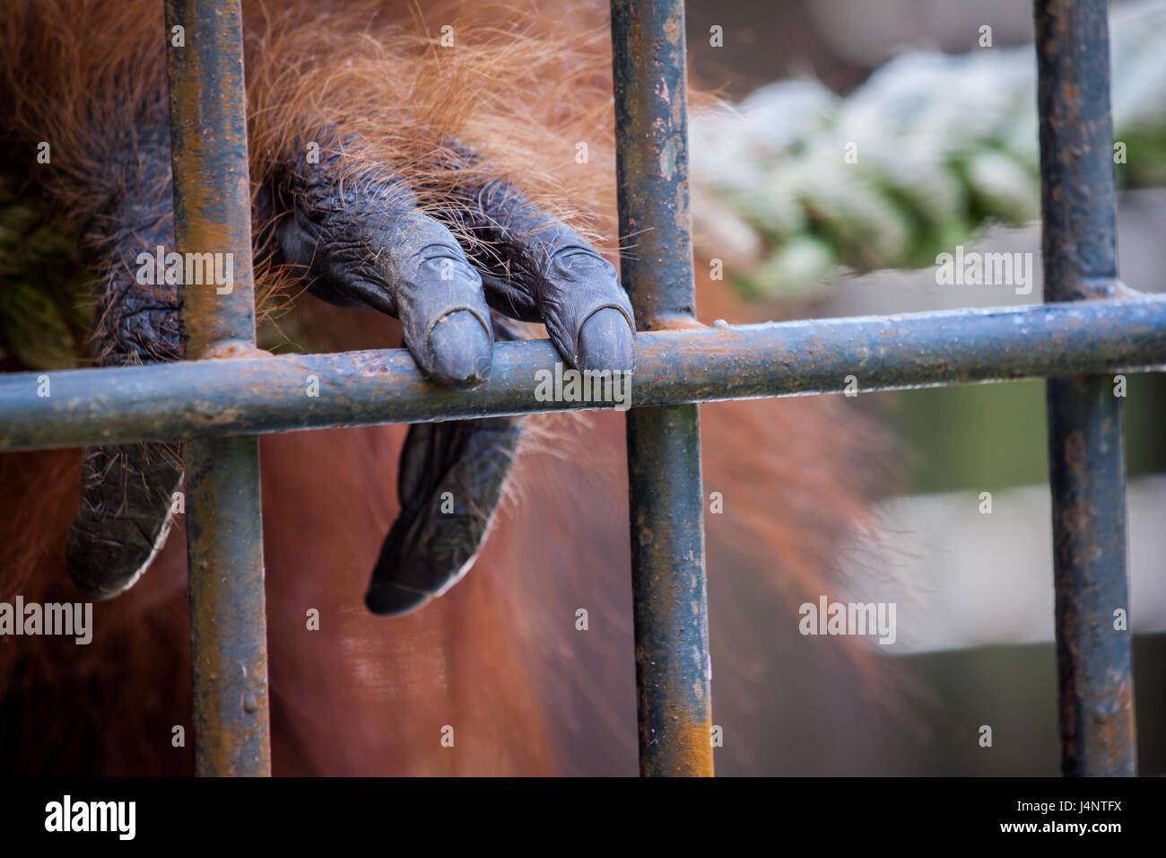 Orangutan hand touching cage iron bars in its captivated state. Orangutans are an endangered species and often need - Stock Image