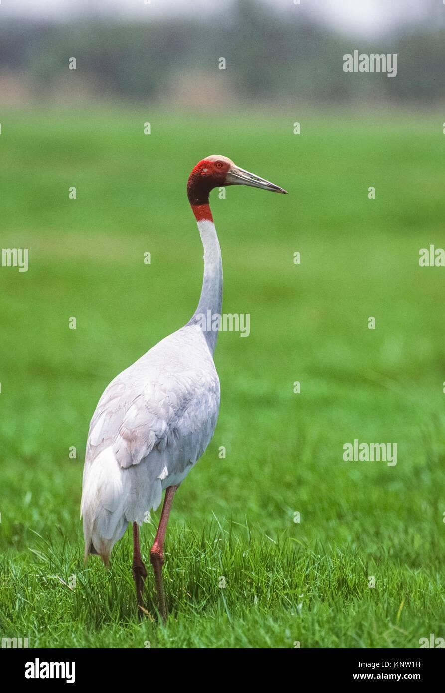 adult Sarus Crane, Antigone antigone, Keoladeo Ghana National Park, Bharatpur, Rajasthan, India - Stock Image