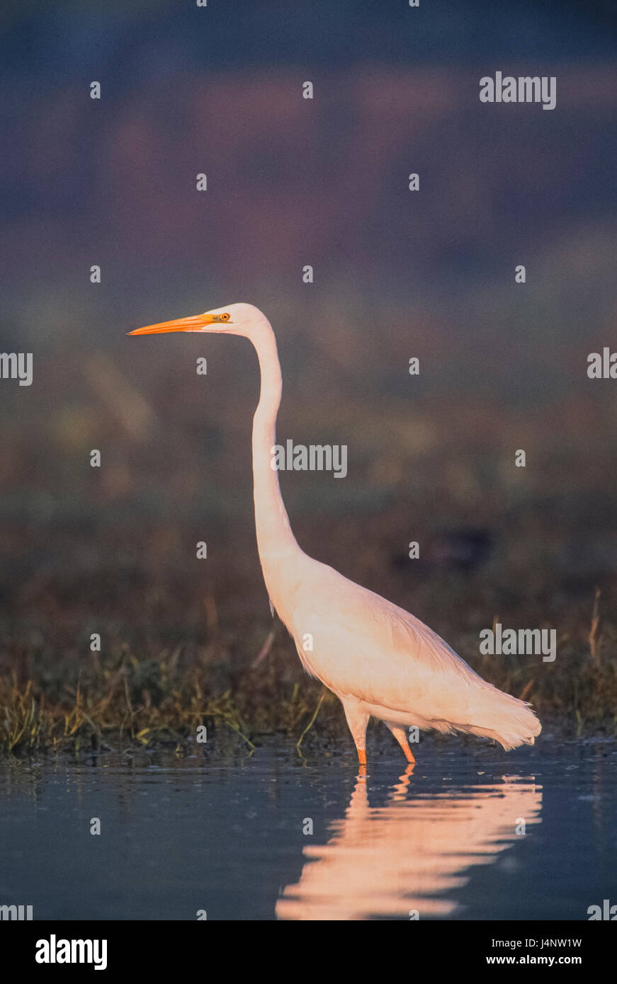 Great White Egret, Great Egret, Common Egret, Large Egret or (in the Old World) Great White Heron, Ardea alba, Keoladeo - Stock Image