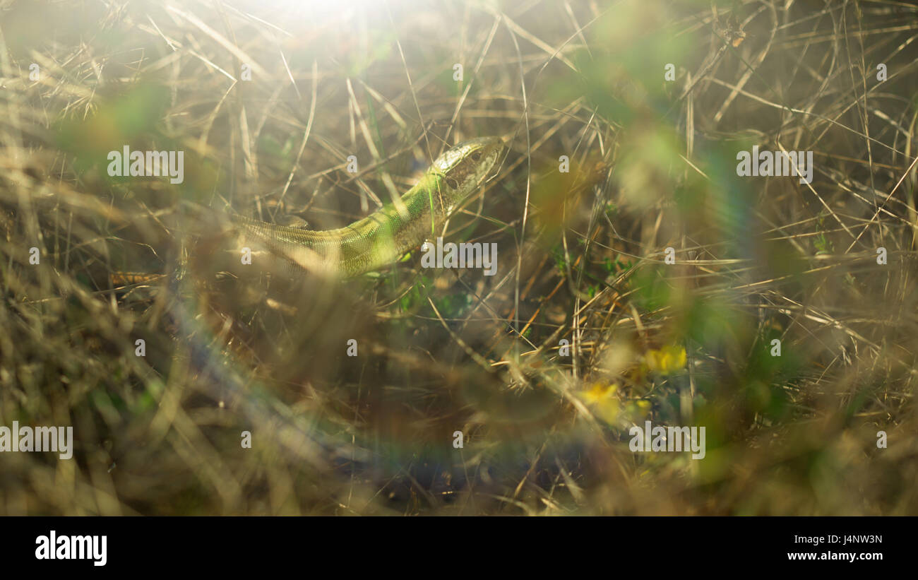 The lizard is hiding in the grass - Stock Image