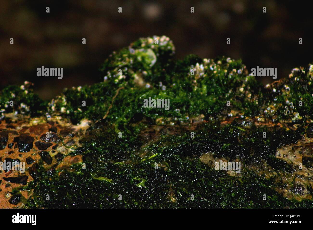 green moss found in Sharjah lagoon - Stock Image
