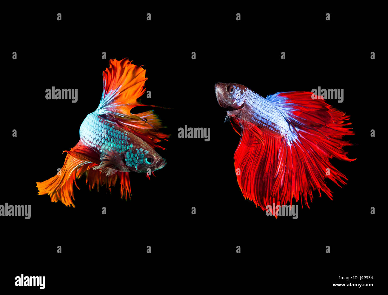 two of beautiful color betta fighting fish preparing to fight on ...