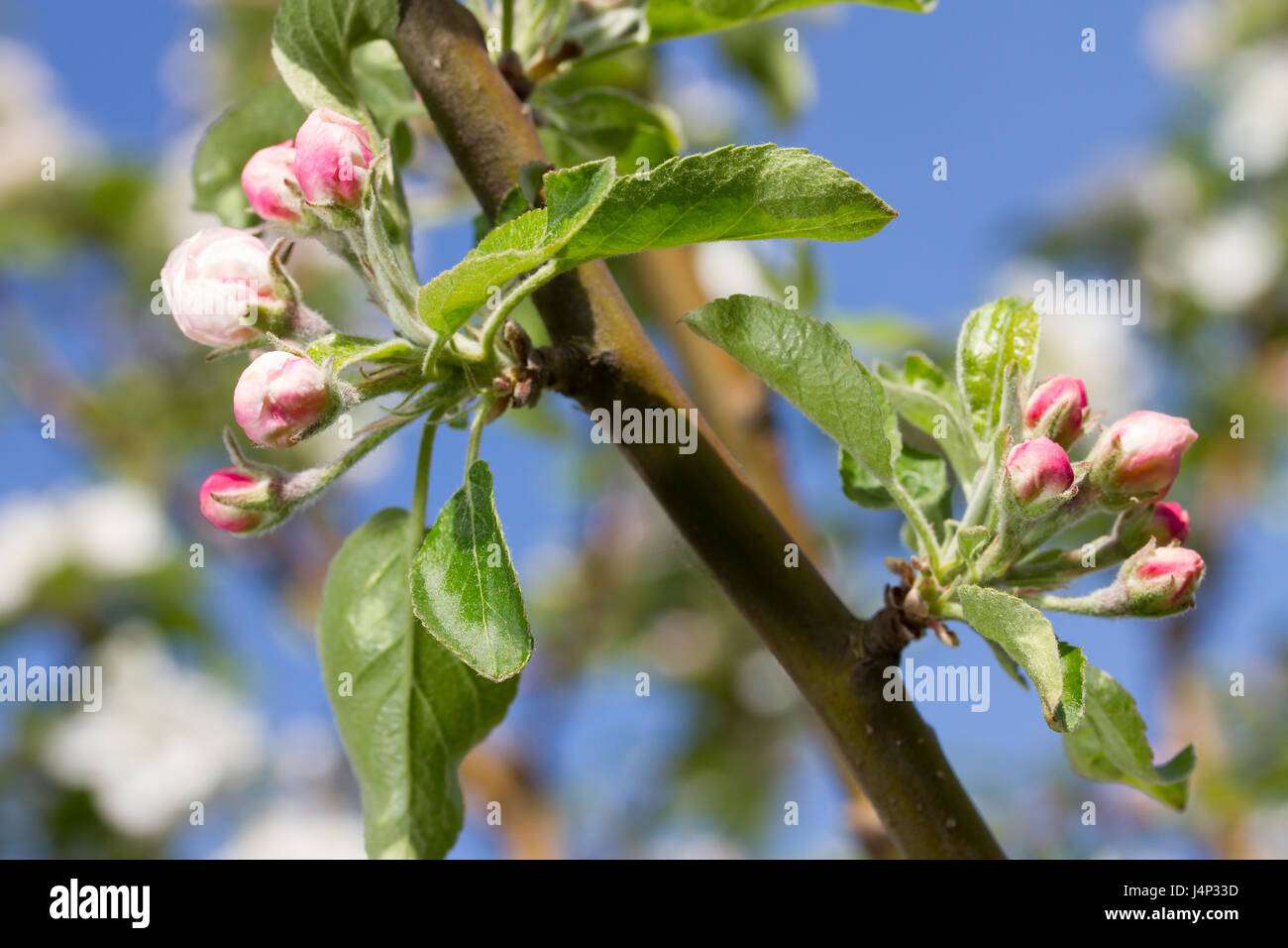 bluming apple tree on sky background - Stock Image