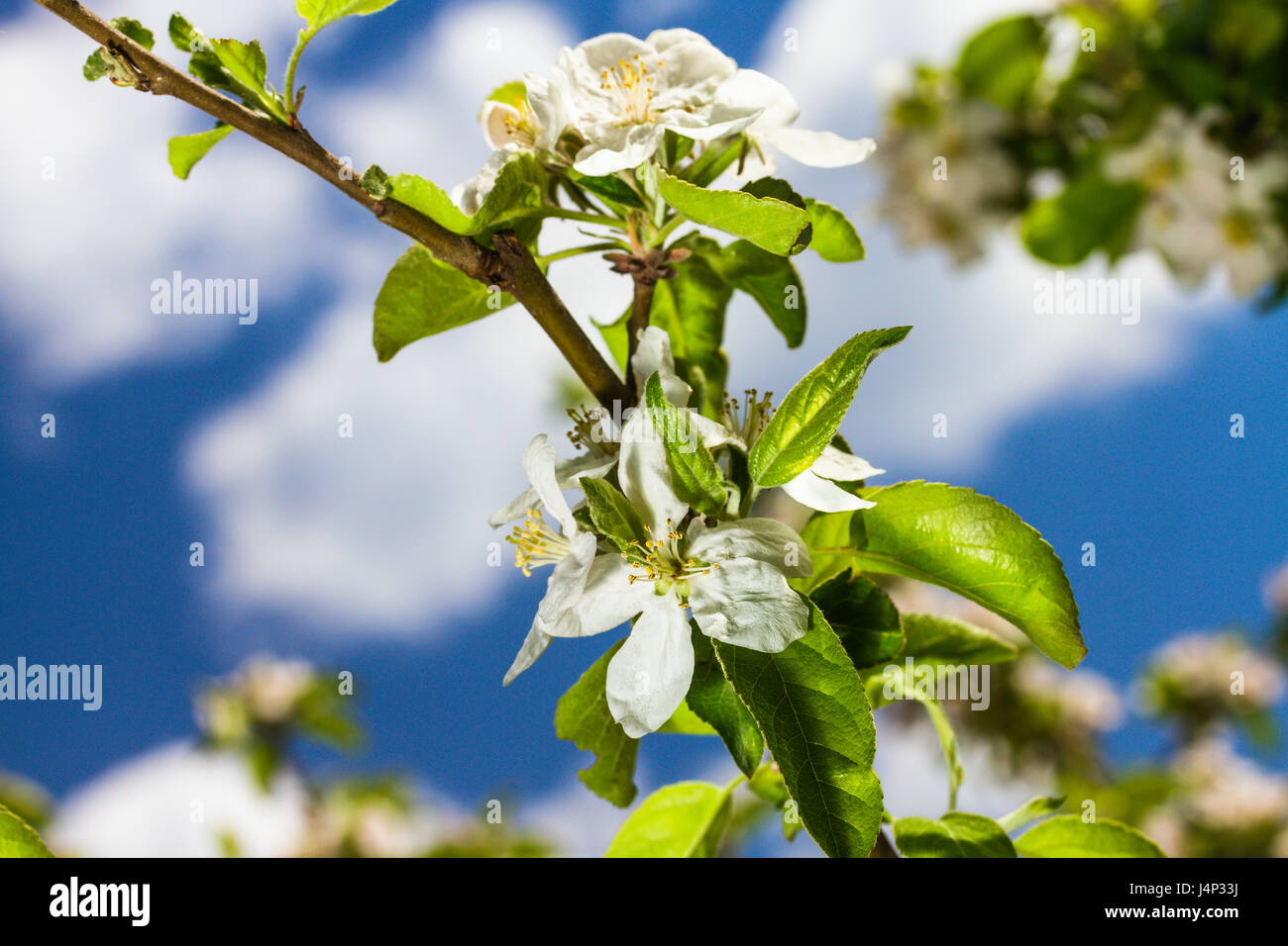 bluming apple tree - Stock Image