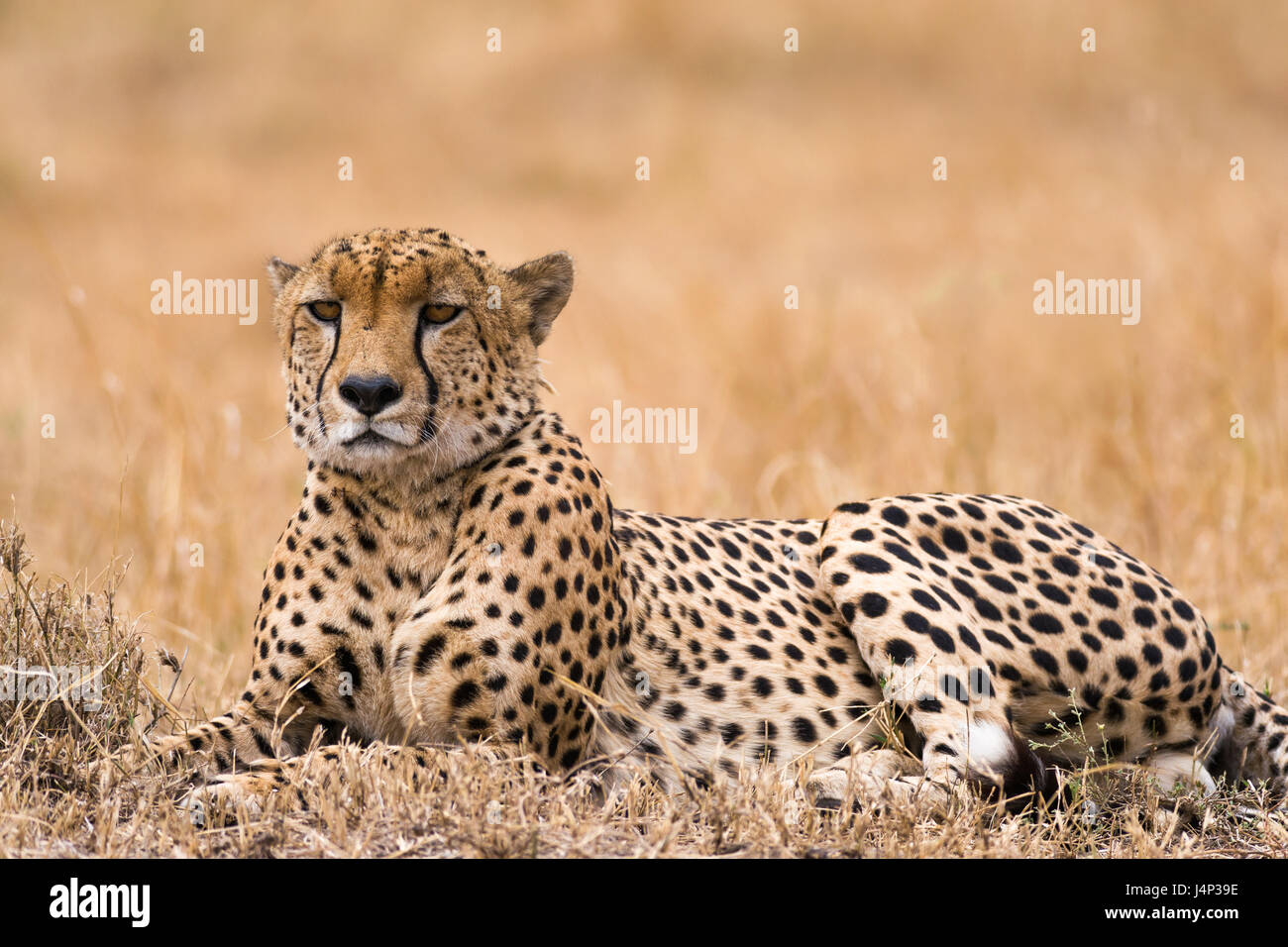 Cheetah (Acinonyx jubatus) resting on open savanna, Masai Mara National Game Park Reserve, Kenya, East Africa Stock Photo
