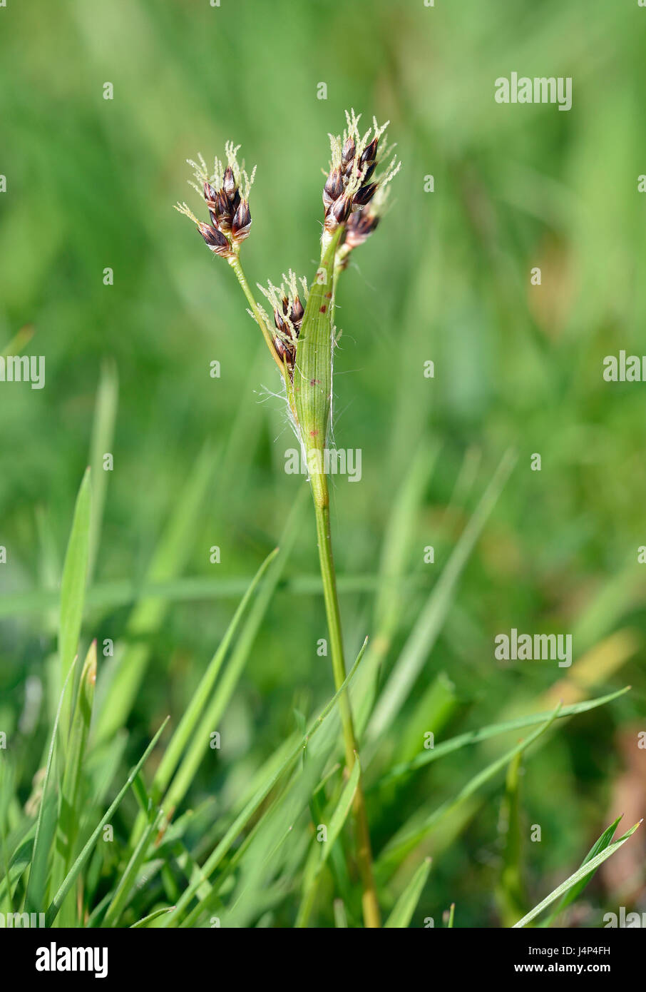 Field Wood-rush - Luzula campestris Small Grass Flower - Stock Image