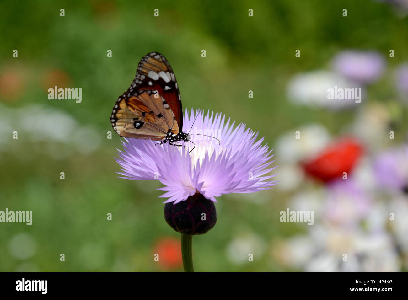 BUTTERFLY SUCKING ELIXIR - Stock Image