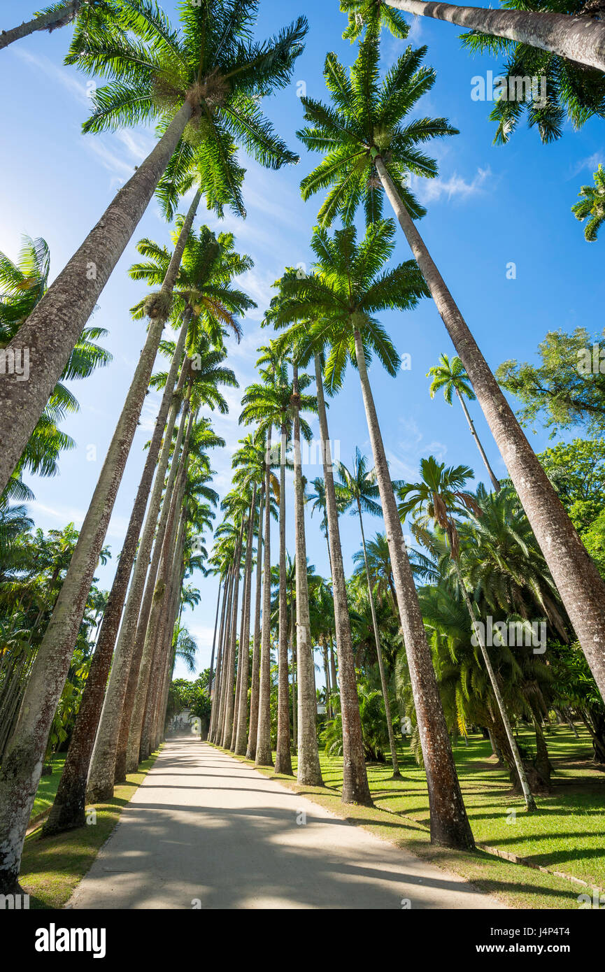 Dirt path lined with tall royal palm trees under bright blue sky in Rio de Janeiro, Brazil - Stock Image