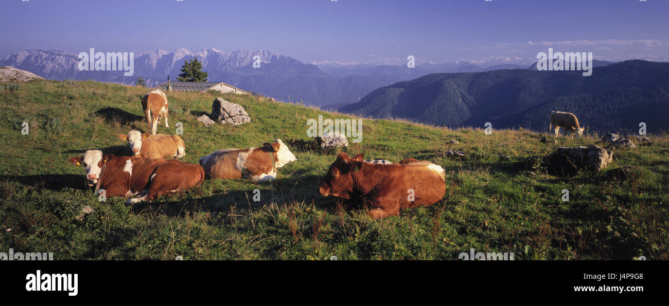 Germany, Bavaria, Bayrischzell, heaven moss alp, mountain pasture, cows, Wilder Kaisers, summer, nature, scenery, - Stock Image