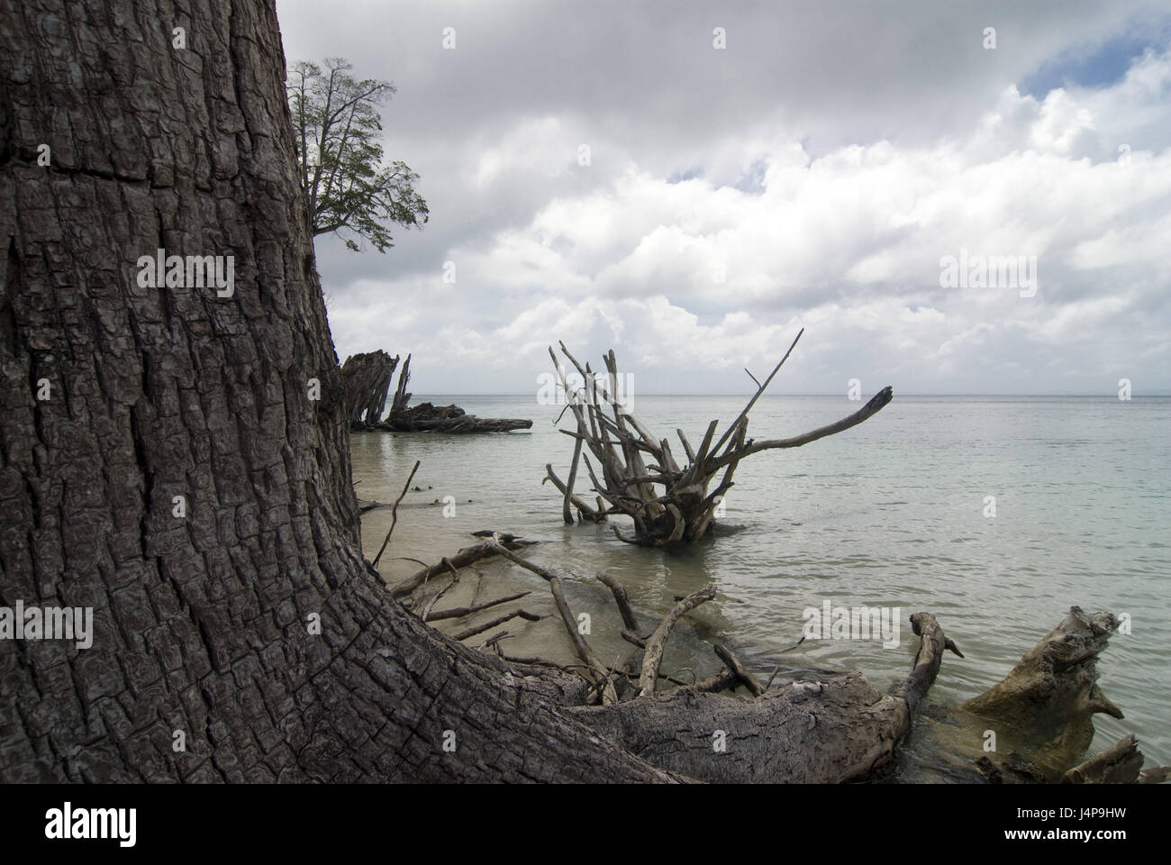Trunk, uproots, trees, coast, Indian ocean, Havelock Insel, Andamanen, India, - Stock Image