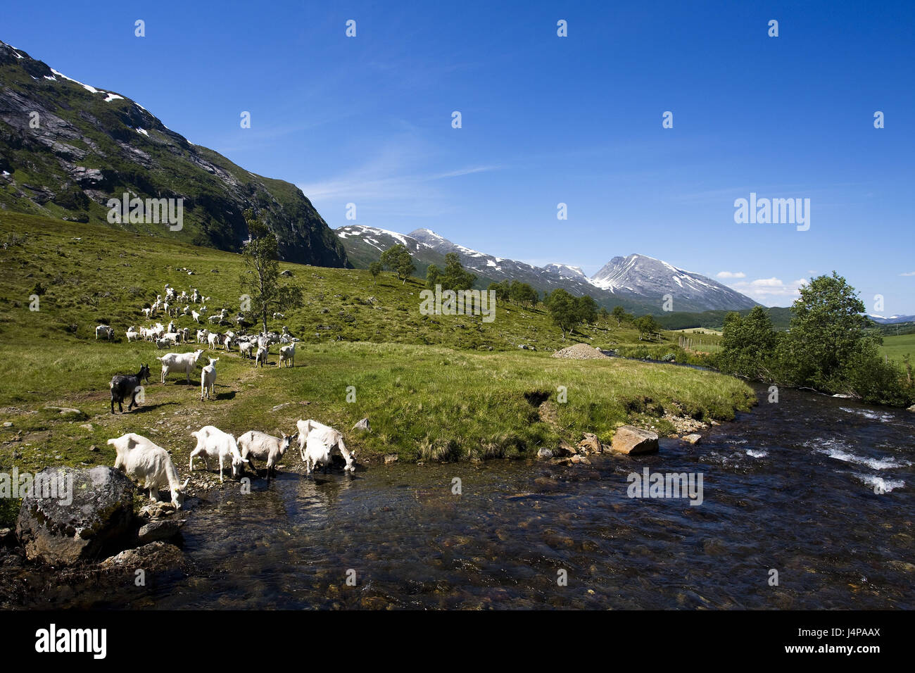 Norway, More og Romsdal, goat focuses, Stock Photo