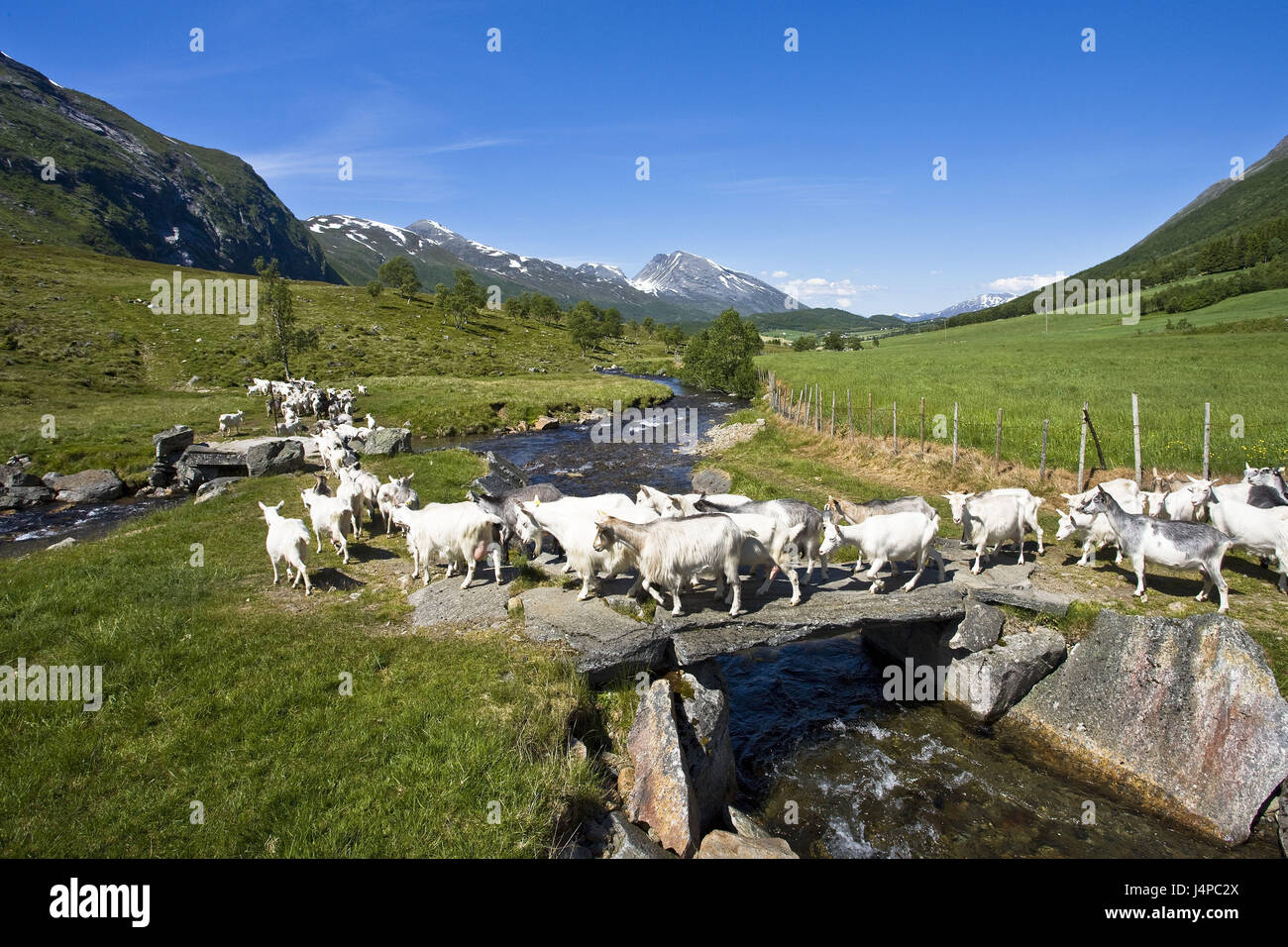 Norway, More og Romsdal, goat focuses, - Stock Image