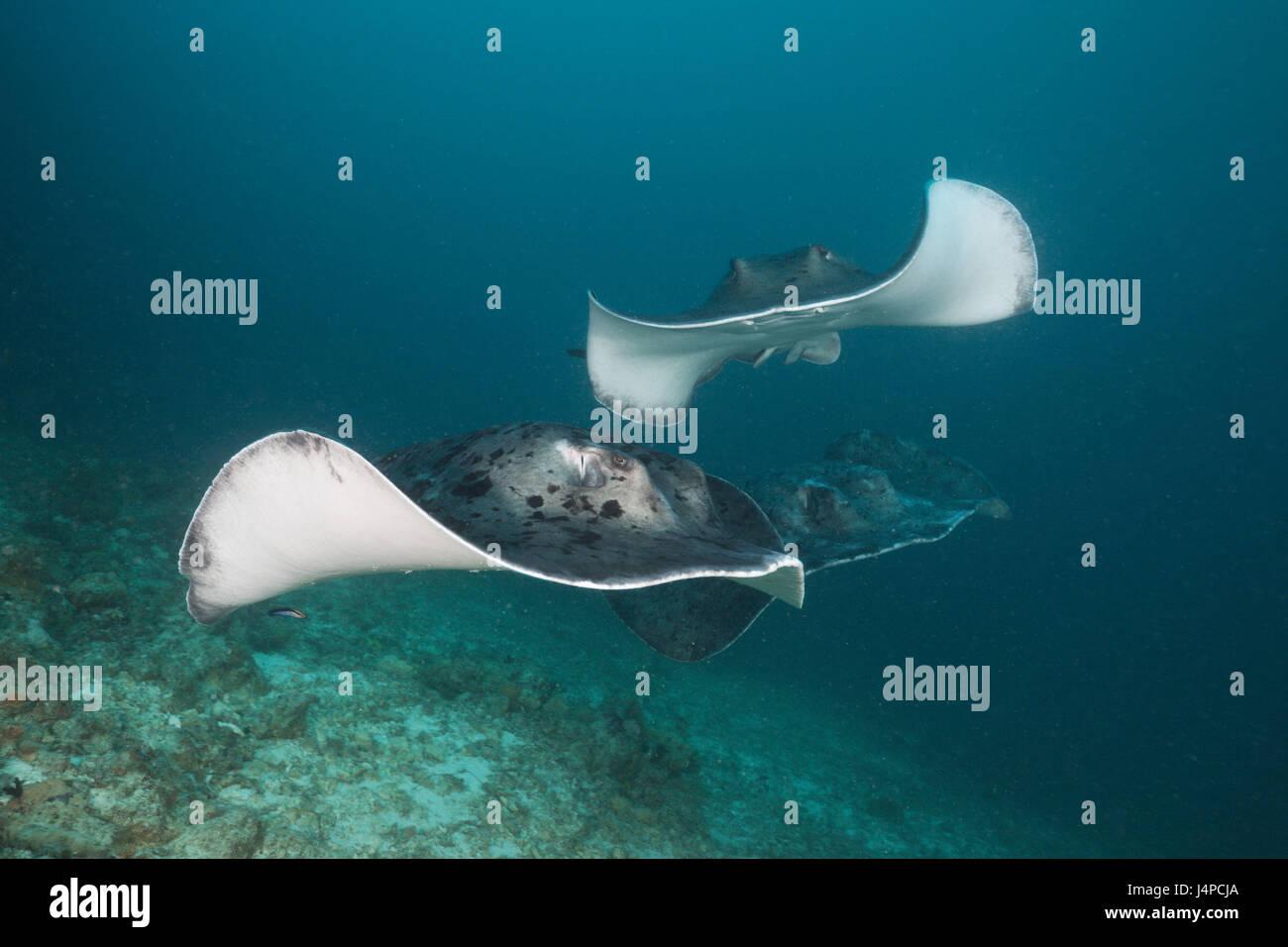 Group of black dot stingrays, Taeniura meyeni, the Maldives, Ellaidhoo house reef, the north Ari Atoll, - Stock Image