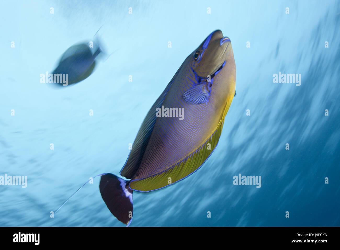 Masks-nasal doctor, Naso vlamingii, the Maldives, Guraidhoo channel, the south times atoll, Stock Photo