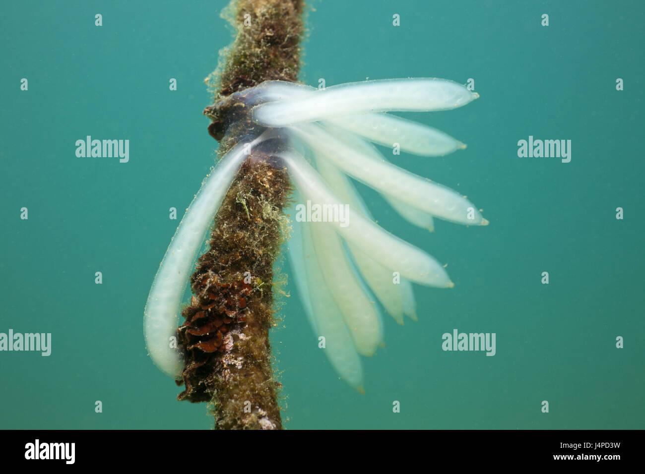 Eggs of a Kalmar, Croatia, Istria, Adriatic, the Mediterranean Sea, - Stock Image