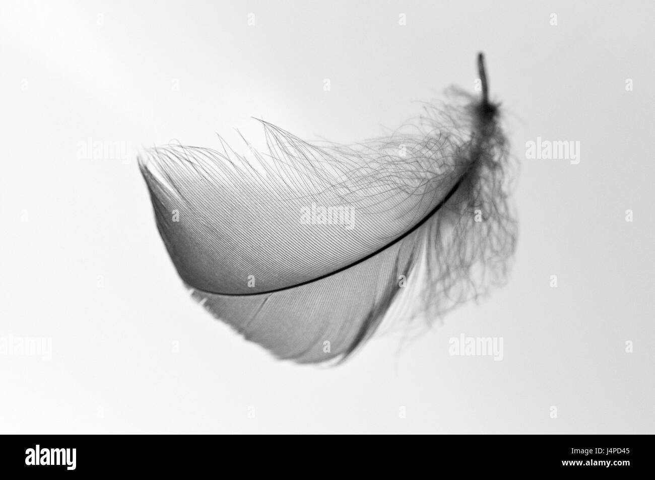 Vogel's feather, - Stock Image