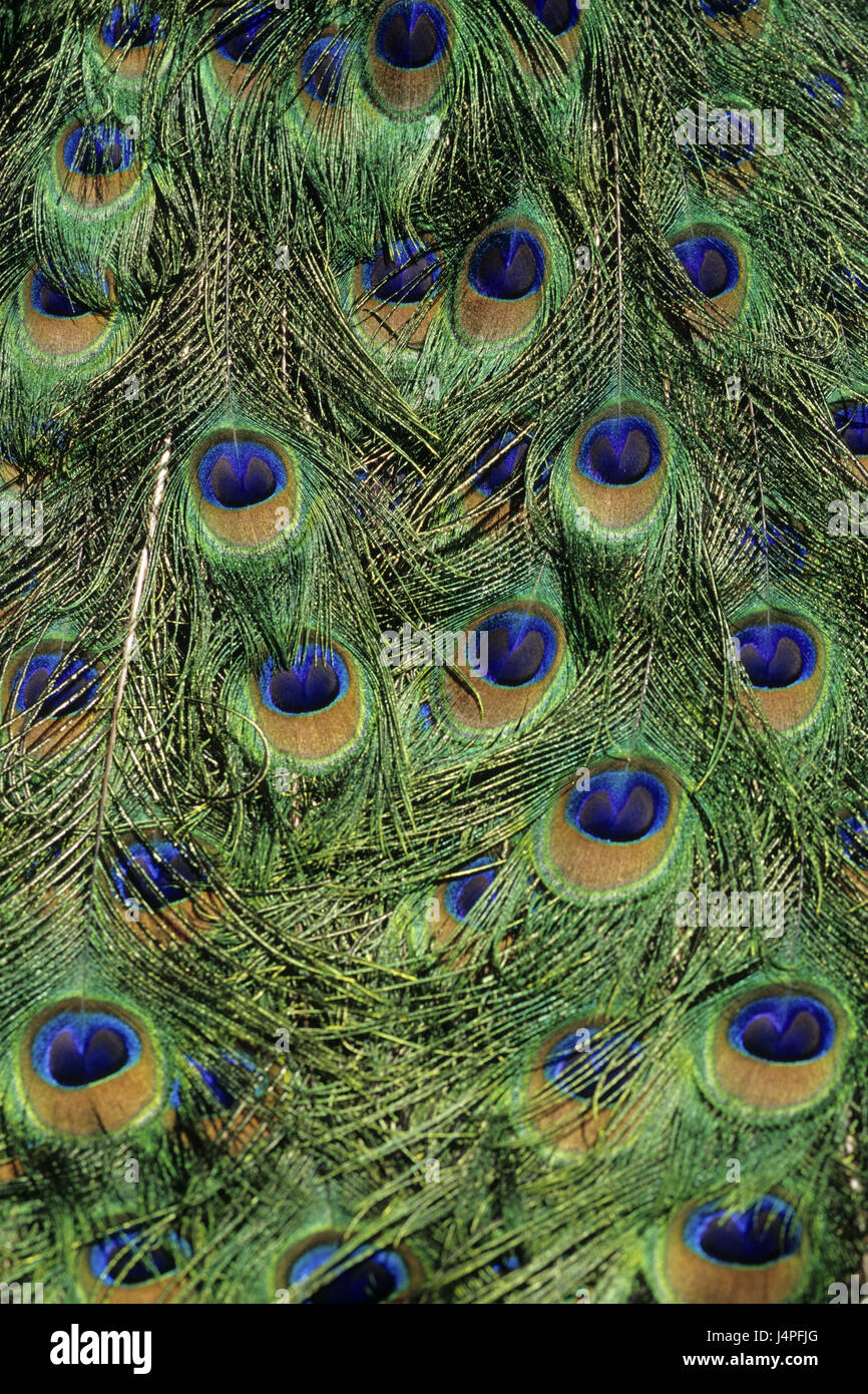 Peacock's feathers, - Stock Image