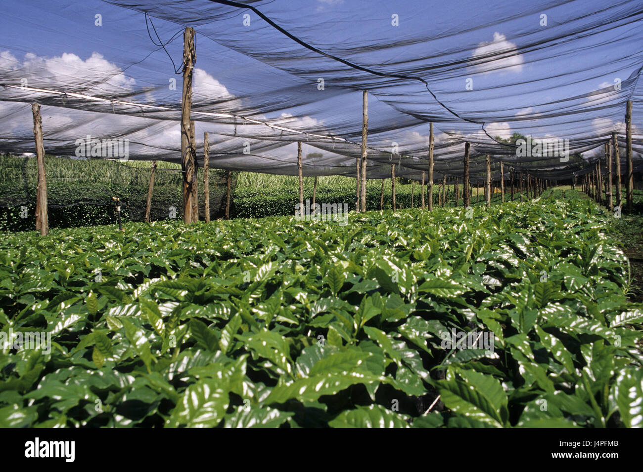 Costa Rica, San Isidro de tablespoons general, coffee plantation, - Stock Image
