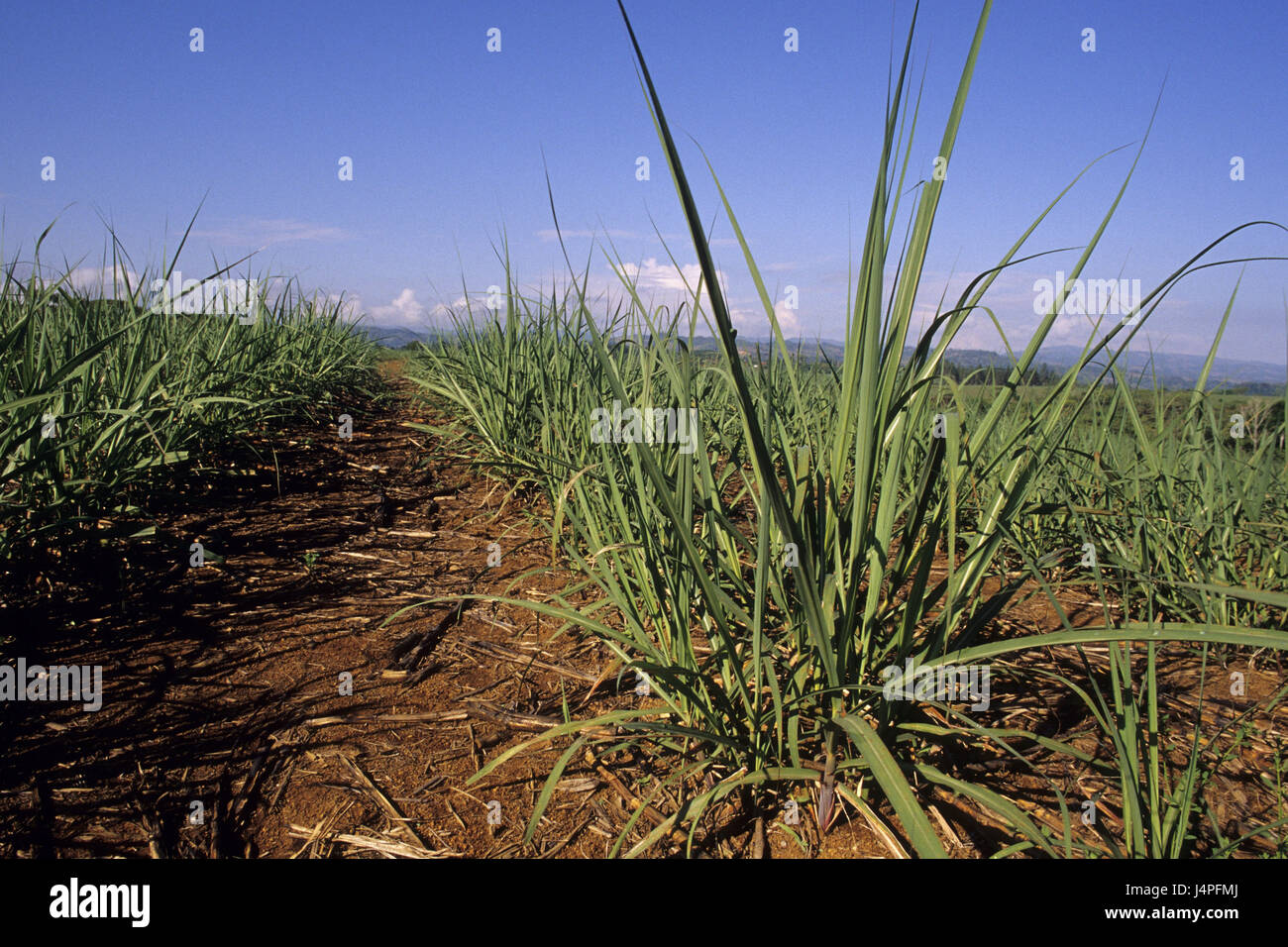 Costa Rica, San Isidro de tablespoons general, sugarcane plantation, - Stock Image