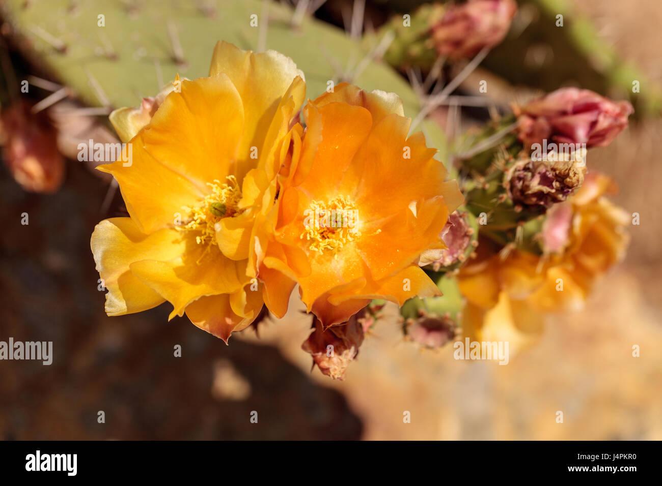 Yellow flowers on a coast barrel cactus san diego barrel cactus yellow flowers on a coast barrel cactus san diego barrel cactus also called ferocactus viridescens in a desert garden in southern california mightylinksfo