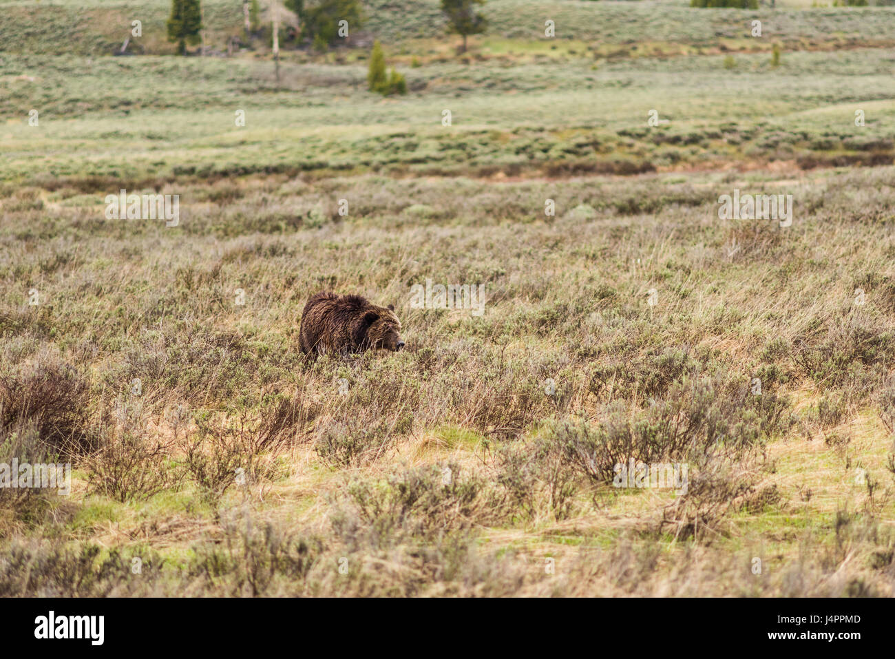 Grizzly bear walking - photo#38