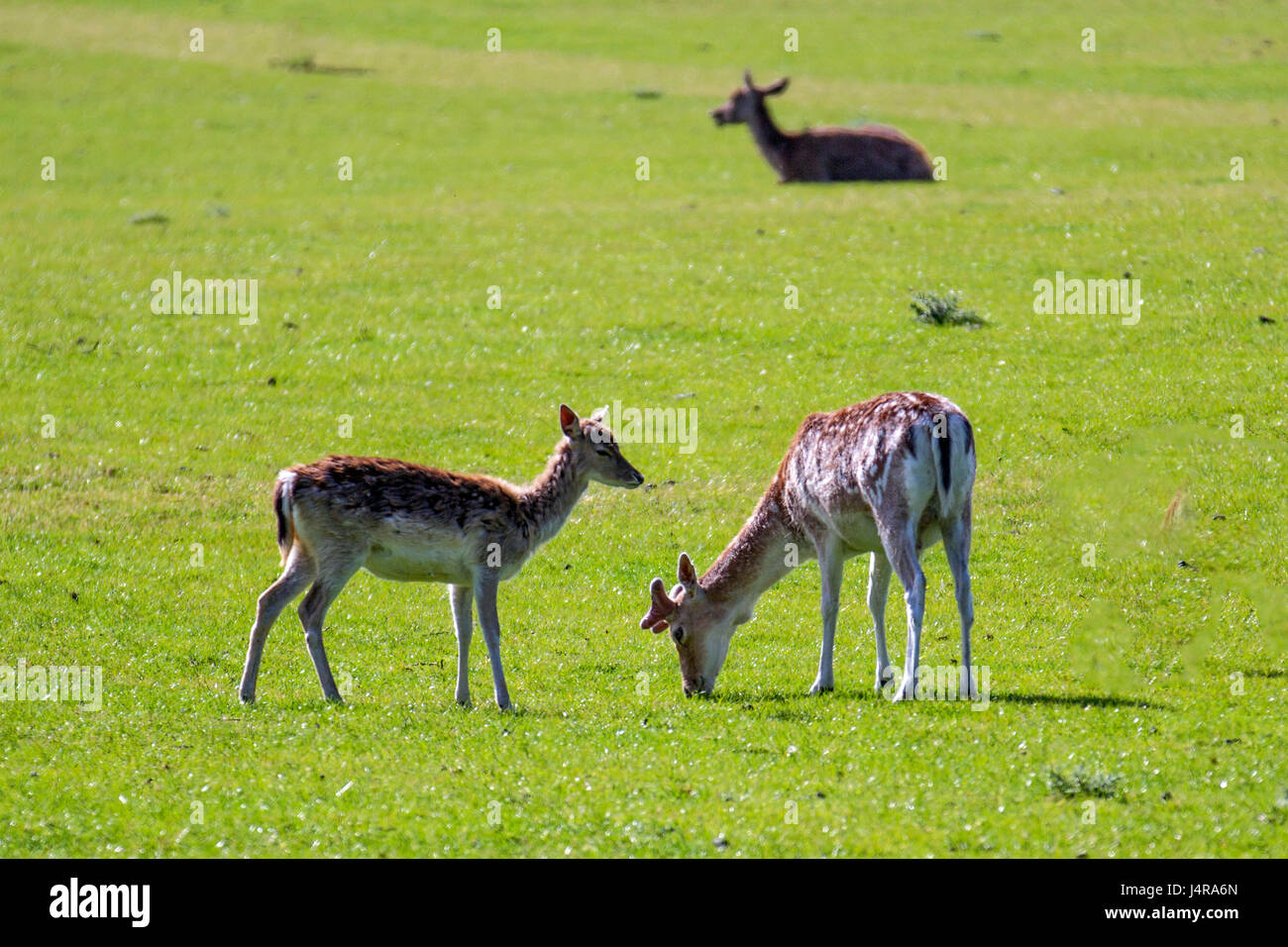 Knutsford, Cheshire, UK.  Warm sunshine for deer in the grounds of Tatton Park. A deer park since 1290, Tatton's Stock Photo
