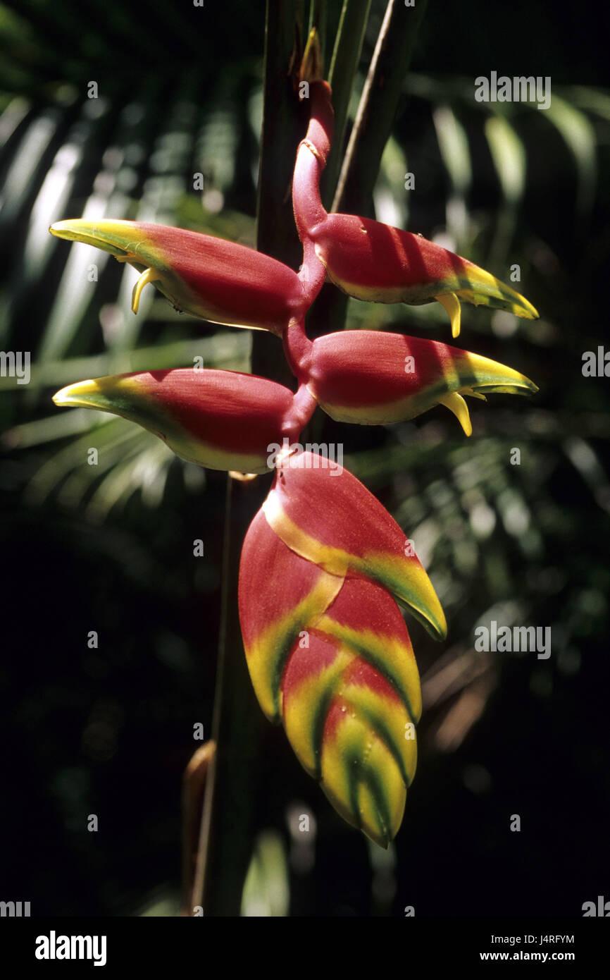 Costa Rica, Helikonie, rainforest, - Stock Image