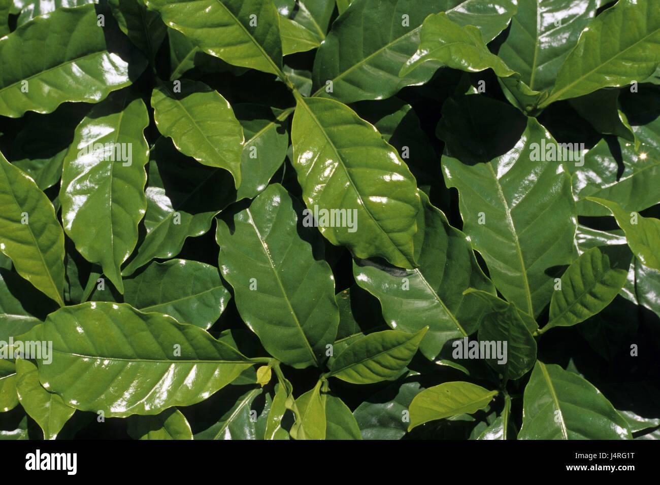 Costa Rica, San Isidro de tablespoons general, coffee plantation, coffee plants, detail, - Stock Image