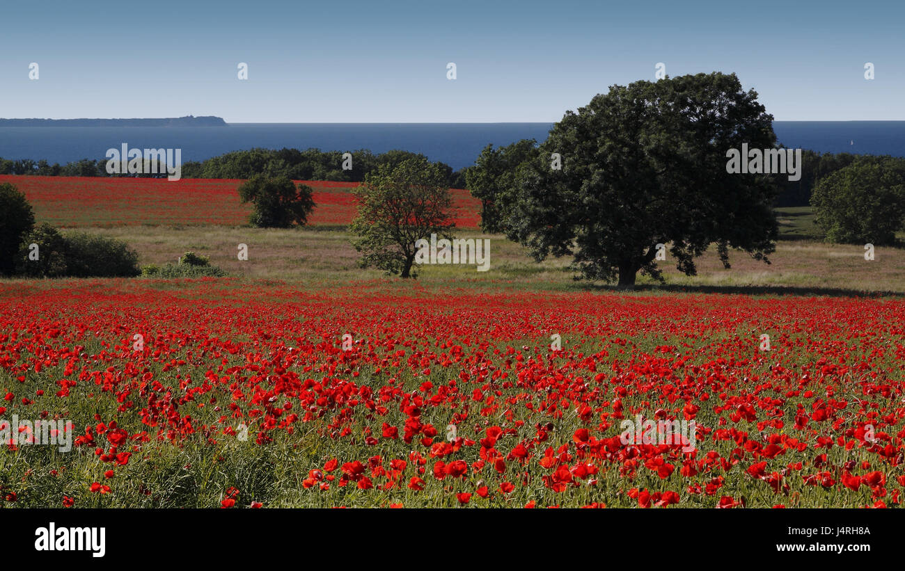 Clap poppy seed, blossoms, field, littered, trees, coast, horizon, sea, sky, cloudless, Germany, Mecklenburg-West - Stock Image
