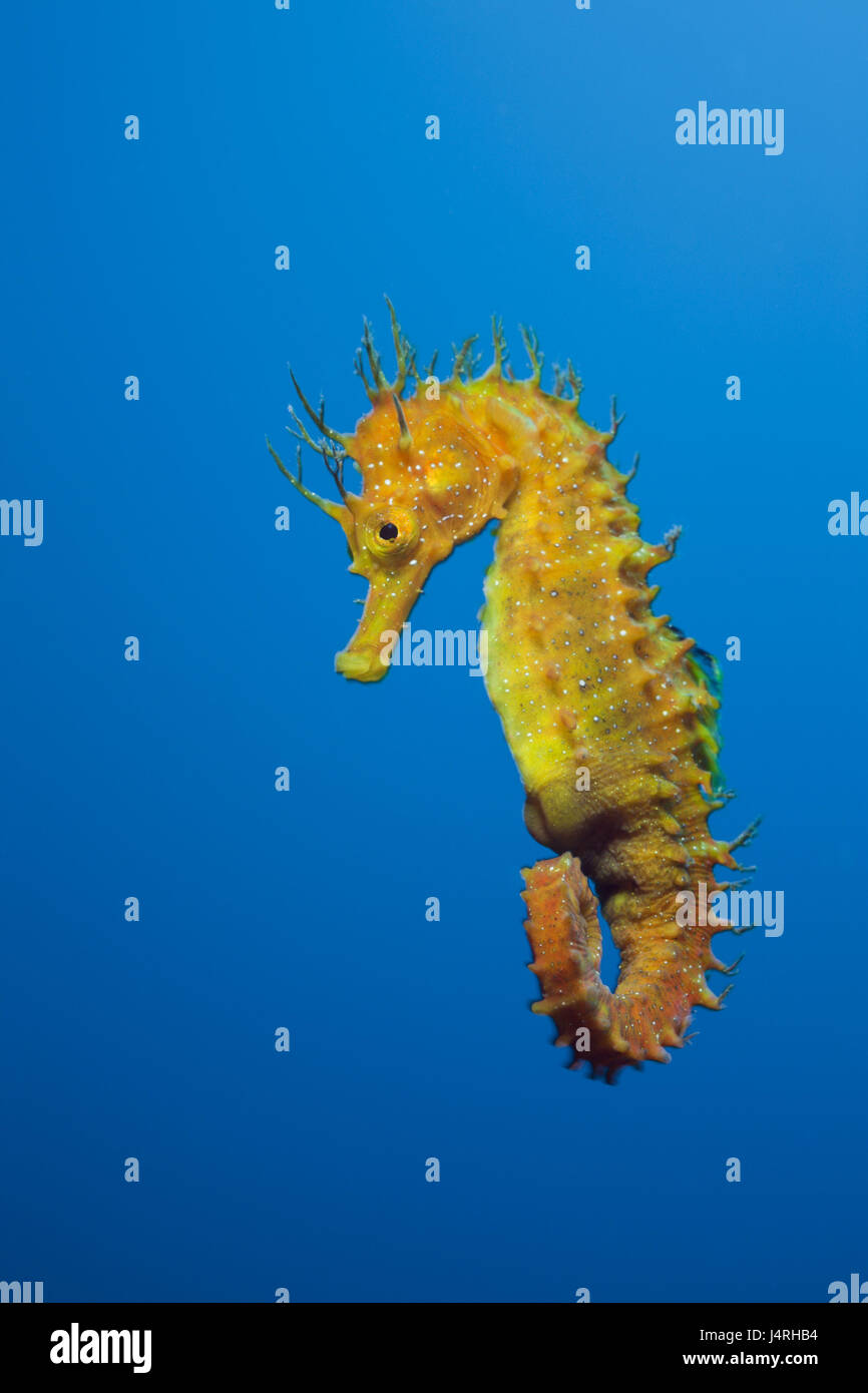 Long snout seahorses, Hippocampus ramulosus, - Stock Image