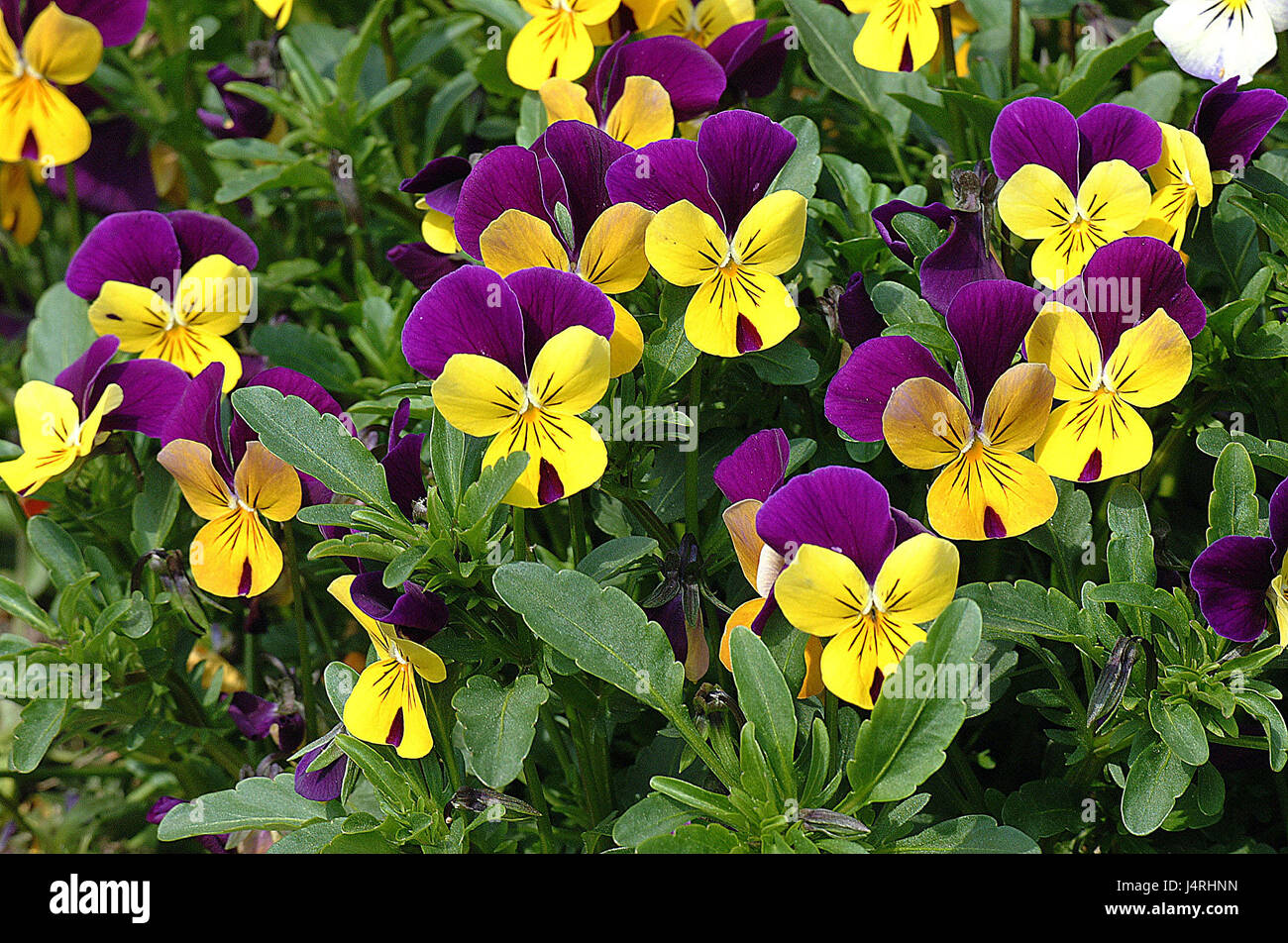 Pansies, viola sp., - Stock Image