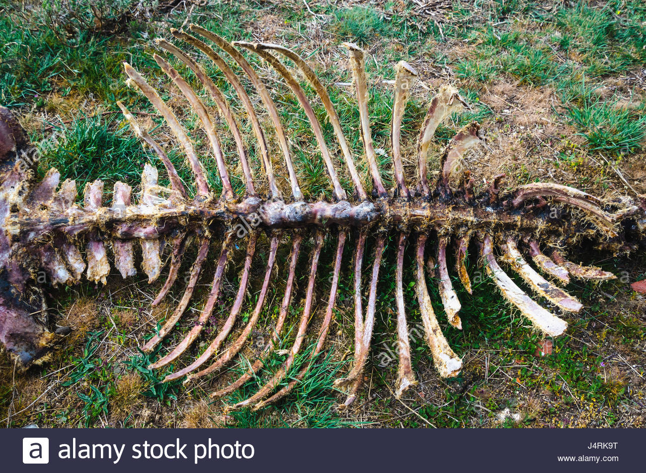 rotten animal bones on the ground. skeleton. Carrion. Food for scavengers - Stock Image