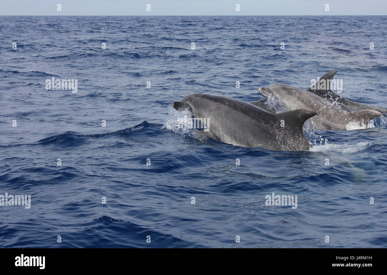 Bottle nose dolphins swimming at the surface of the ocean Stock Photo