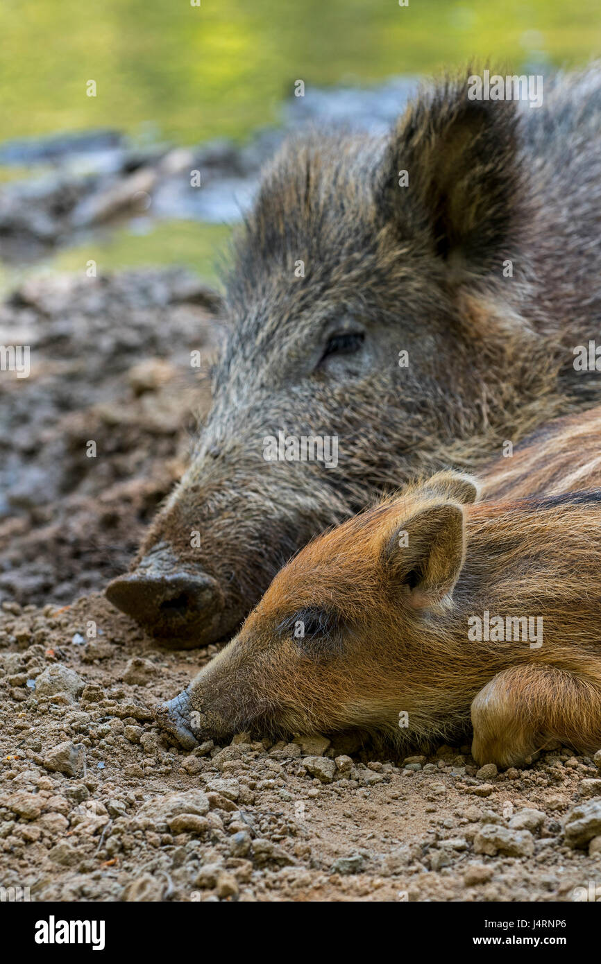 Wild boar (Sus scrofa) sleeping side by side with piglet in the mud in spring - Stock Image
