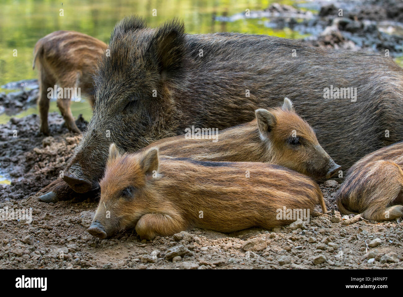 Wild boar (Sus scrofa) sow with piglets sleeping in the mud in spring - Stock Image