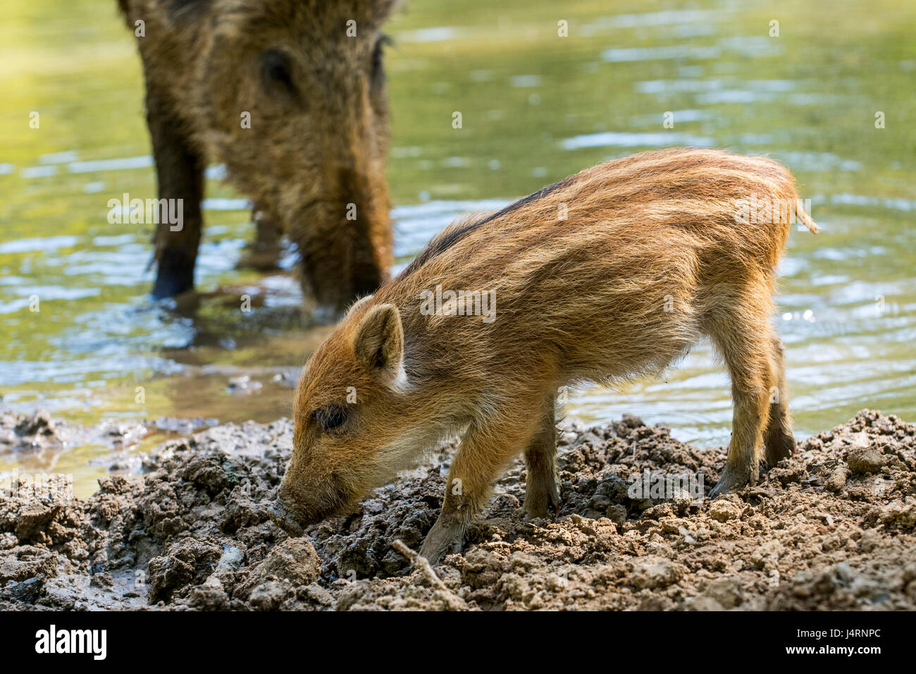 Wild boar (Sus scrofa) piglet foraging in the mud along lake shore in spring - Stock Image
