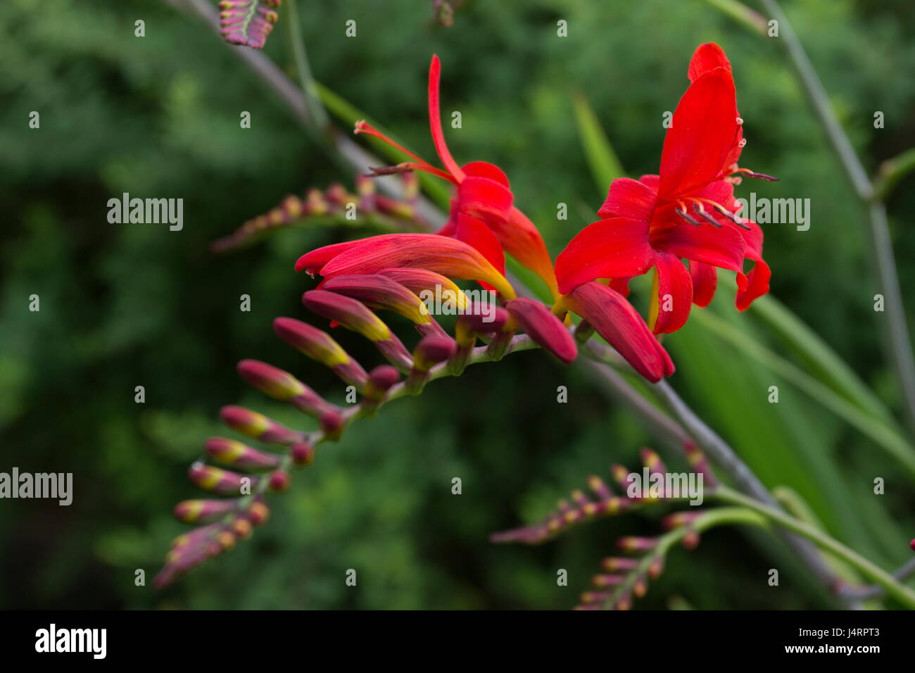 Crocosmia lucifer with red flowers Stock Photo