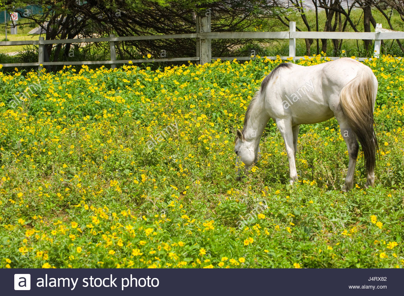White Horse Grazing In A Field Of Yellow Flowers Koko Head Stables