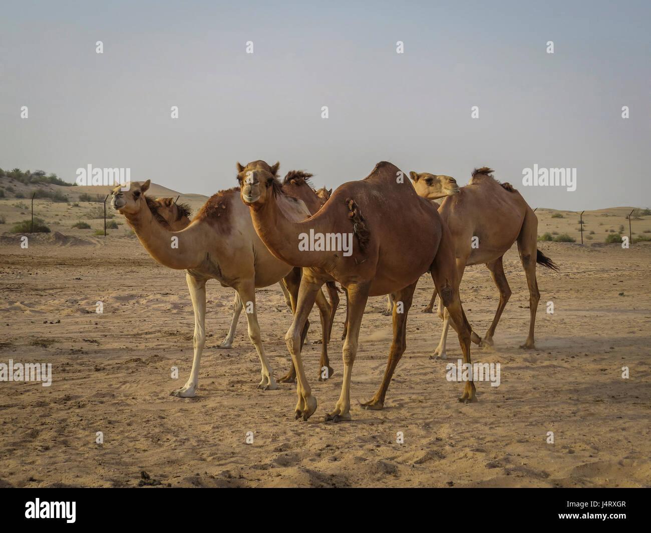 Camels feeding on a camel farm at dusk Stock Photo