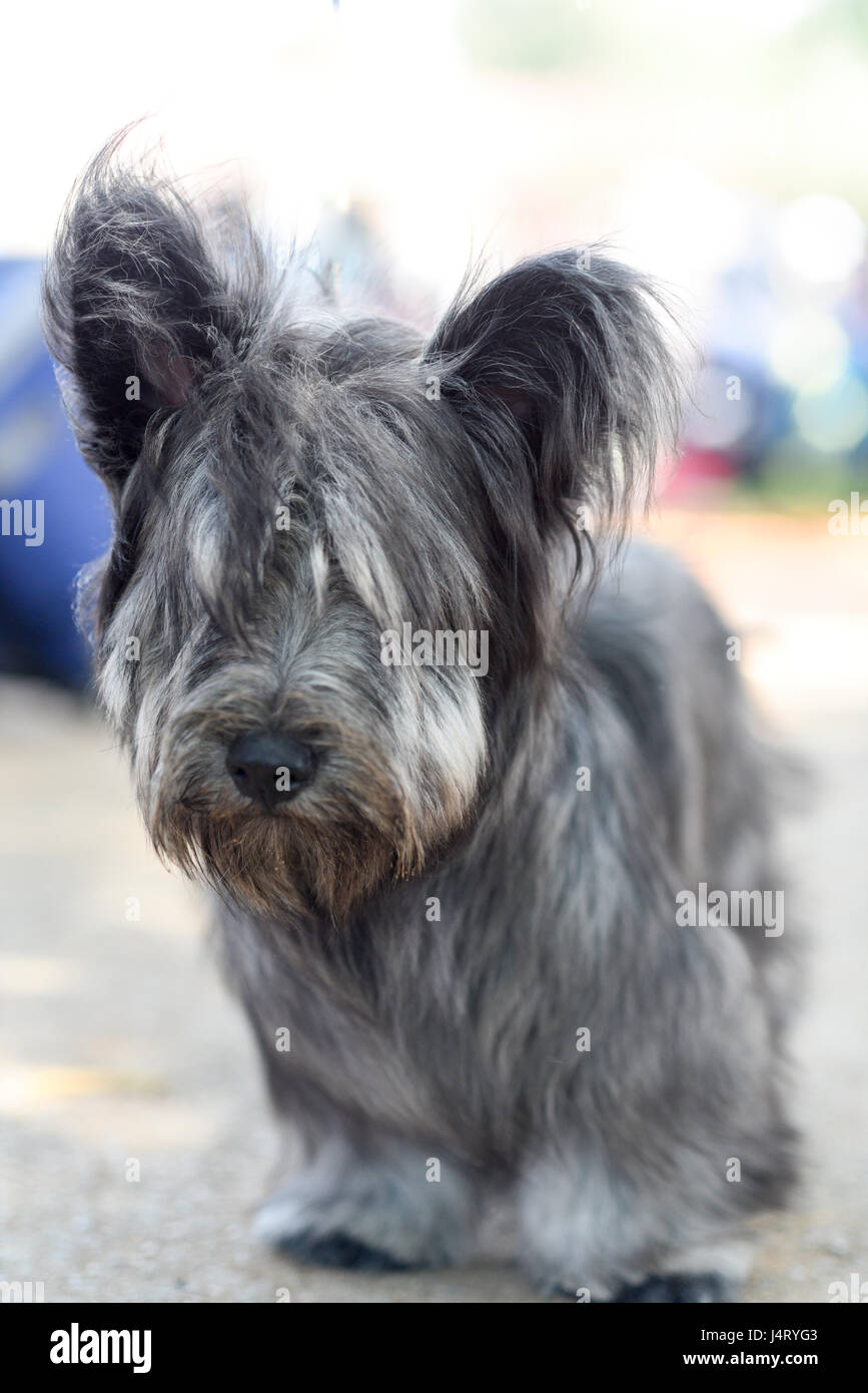 Skye Terrier is a breed of dog that is a long, low, hardy terrier - Stock Image