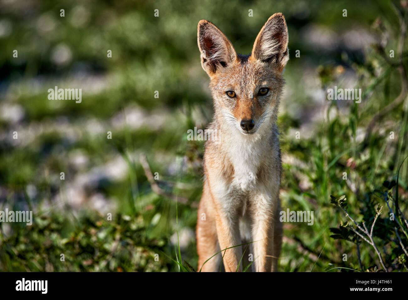 Black-backed jackal, Canis mesomelas, Etosha National Park, Namibia - Stock Image
